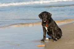 Fun on the beach. 3 month old puppy having fun on the beach Royalty Free Stock Photo