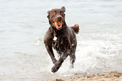 Fun on the beach. This dog comes shooting out of the water with its freshly caught ball Royalty Free Stock Photo