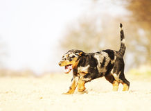 Fun beauceron puppy running Stock Photo
