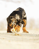 Fun beauceron puppy running Royalty Free Stock Images