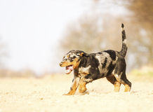 Fun beauceron puppy running royalty free stock photography