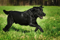 Fun black Labrador dog running fast on green grass Stock Photography