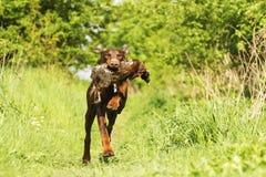 Fun brown doberman pinscher dog running with pheasant Royalty Free Stock Photos