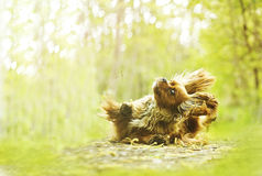 Fun cavalier king charles spaniel dog dogdancing.  Stock Image