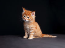Fun cute red solid maine coon kitten sitting with beautiful brus Royalty Free Stock Photography