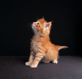 Fun cute red solid maine coon kitten standing with beautiful bru Royalty Free Stock Photos