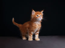 Fun cute red solid maine coon kitten standing with beautiful bru Royalty Free Stock Image