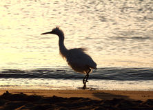Fun disheveled heron bird Royalty Free Stock Photo