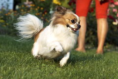 Fun dog. Small dog running on the grass Stock Photography