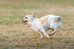 Fun dog,Happy dogs having fun in a field, running on the field. Chihuahua royalty free stock photo