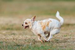 Fun dog,Happy dogs having fun in a field, running on the field.Chihuahua. stock image