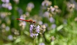 Fun Dragonfly sitting on a flower and collects nectar. Dragonfly in the garden, Insects and flowers, Dragonfly in nature, Marko shooting insects Stock Images