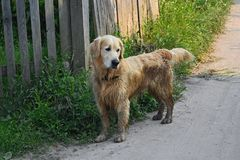 Fun Golden Retriever dog after bathing in the mud royalty free stock photography