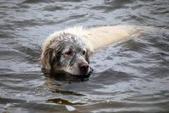 Fun golden retriever dog has been in the mud Royalty Free Stock Photos