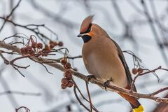 A fun gray and orange Bohemian waxwing Bombycilla garrulus eats a red small apple on a branch of wild apple tree in the. Park in winter on a blurred blue sky royalty free stock photos
