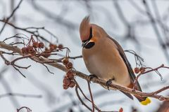 A fun gray and orange Bohemian waxwing Bombycilla garrulus eats a red small apple on a branch of wild apple tree in the. Park in winter on a blurred blue sky stock photo