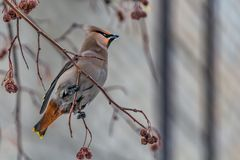 A fun gray and orange Bohemian waxwing Bombycilla garrulus eats a red small apple on a branch of wild apple tree in the. Park in winter on a blurred blue sky stock image