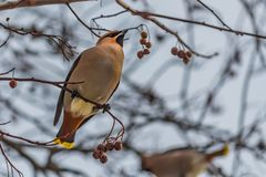A fun gray and orange Bohemian waxwing Bombycilla garrulus eats a red small apple on a branch of wild apple tree in the royalty free stock photography