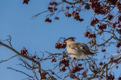 A fun gray and orange Bohemian waxwing Bombycilla garrulus eats a red small apple on a branch of wild apple tree in the. Park in winter on a blurred blue sky royalty free stock images