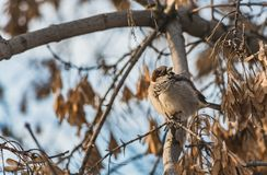 A fun gray and yellow sparrow is on a brown maple branch without foliage with yellow seeds in the park in autumn on a. A fun gray and yellow sparrow sits on a stock photo