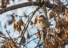 A fun gray and yellow sparrow is on a brown maple branch without foliage with yellow seeds in the park in autumn on a. A fun gray and yellow sparrow sits on a royalty free stock photo