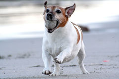 Fun and Happy. A happy looking Jack Russel terrier running on the beach with a toy in his mouth Stock Photos