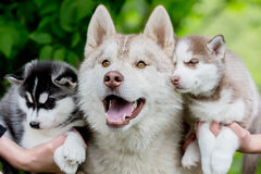 Fun Husky gray with two small puppies. Royalty Free Stock Images