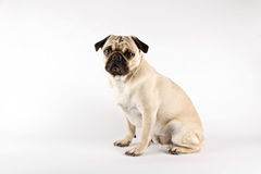 Fun looking pug Stock Images