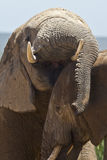 Fun loving Elephants Stock Images