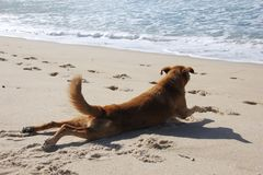 Dog of Maresias beach in Brasil stock image