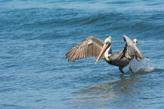 Fun with Pelicans - In Action Stock Photography