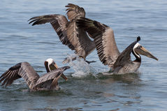 Fun with Pelicans in Action Stock Images