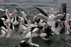 Fun with pelicans while feeding - Stock image Royalty Free Stock Image