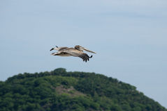 Fun with Pelicans in Flight Stock Photos