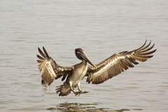 Fun with Pelicans in Flight - Look at my Wings Stock Photo