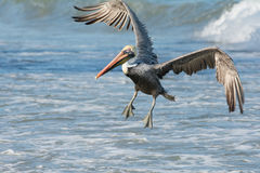Fun with Pelicans - Ocean Landing Royalty Free Stock Images