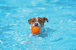 Fun in the pool - Jack Russel Terrier. Jack Russell Terrier playing in  the pool Stock Photography