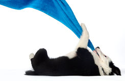 Fun with puppy. Playful border collie puppy tugging on a towel Royalty Free Stock Photo