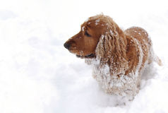 Fun in the snow 3. English cocker spaniel having fun in the snow. Metering on the fur, snow is pure white and overexposed Stock Photography