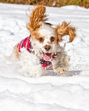 Fun in the snow. A dog running through the snow with its ears flopping and snow flying Stock Photos