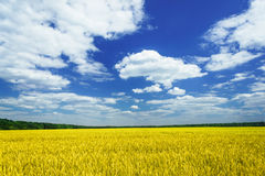 Fun sun and field full of wheat by summertime. Stock Image