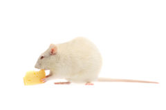 Fun white rat with cheese. Isolated on white background Royalty Free Stock Image