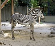 Zebra equine horse mammal Africa savanna herbivores. Fun Zebra foal in the zoo mammal herbivorous equine striped mane horse hoof royalty free stock photos