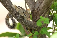 Funambulus palmarum, Indian Palm Squirrel, sitting on a branch Royalty Free Stock Photos