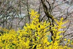 Funaoka-Schloss-Ruinen-Park, Shibata, Miyagi, Tohoku, Japan 12,2017 im April: Gelbe Forsythie entlang dem Gehweg Lizenzfreies Stockbild