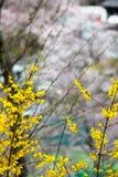 Funaoka-Schloss-Ruinen-Park, Shibata, Miyagi, Tohoku, Japan 12,2017 im April: Gelbe Forsythie entlang dem Gehweg Stockbild