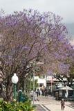 FUNCHAL, MADEIRA/PORTUGAL - 9 APRIL: Blauwe Jacaranda (jacaranda royalty-vrije stock foto
