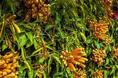 FUNCHAL madera, PORTUGALIA, LUTY,/- 2017: KOLORÓW ŻÓŁTYCH kwiaty I ZIELENI liście Fotografia Stock