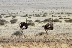 Funcionamento das avestruzes Fotografia de Stock Royalty Free