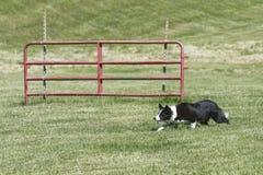 Funcionamento do cão de carneiros Fotografia de Stock Royalty Free